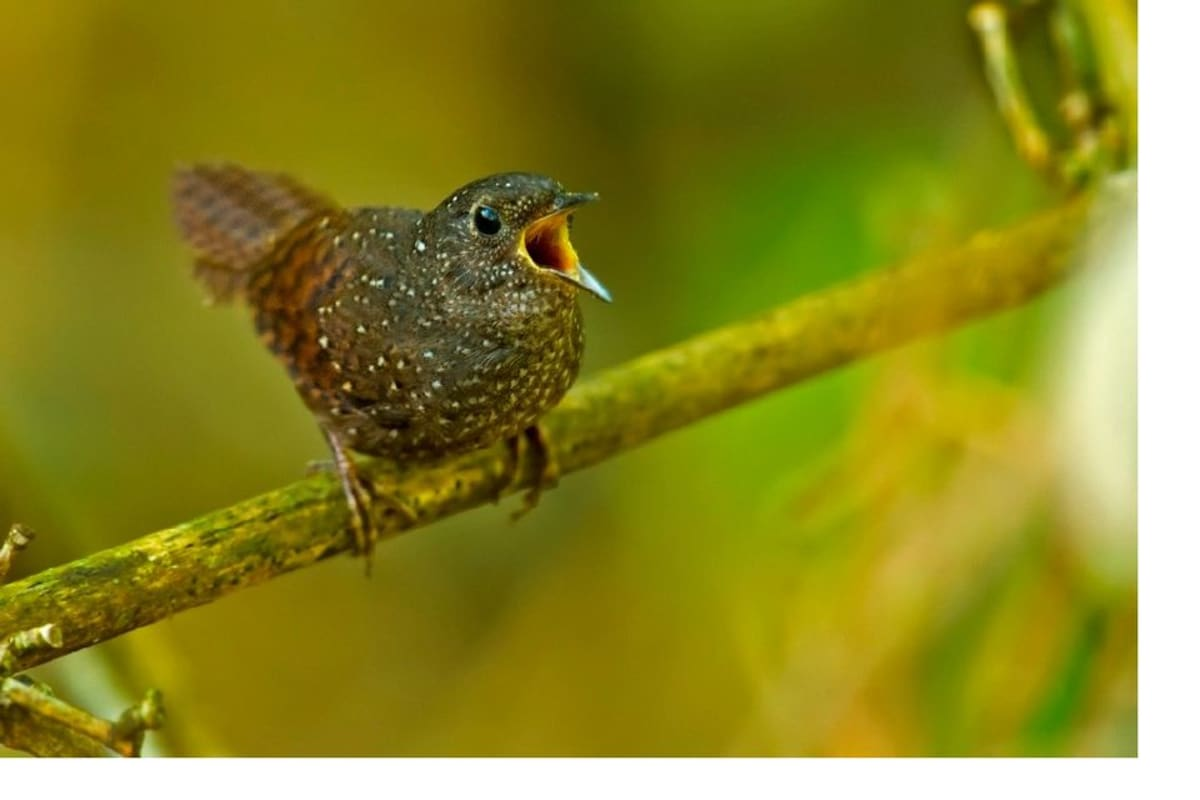 Elachura formosa -lintu laulaa oksalla