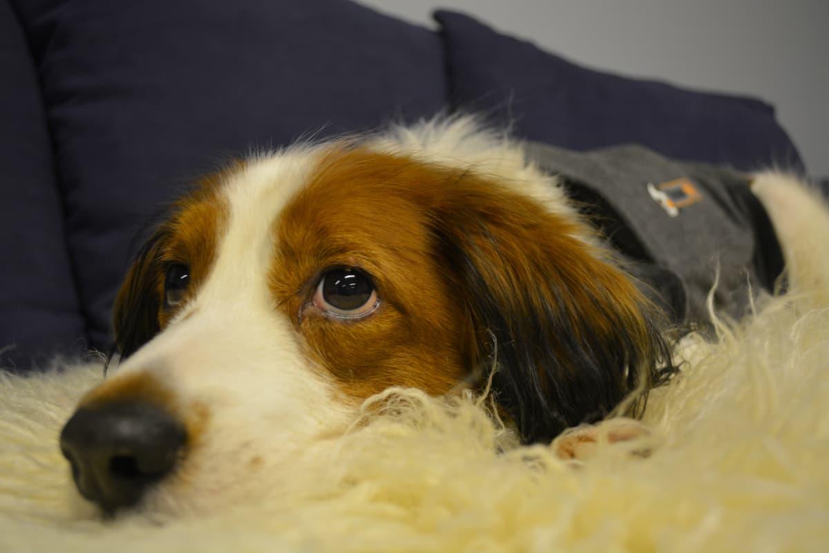 Koira lepäilee sohvalla.