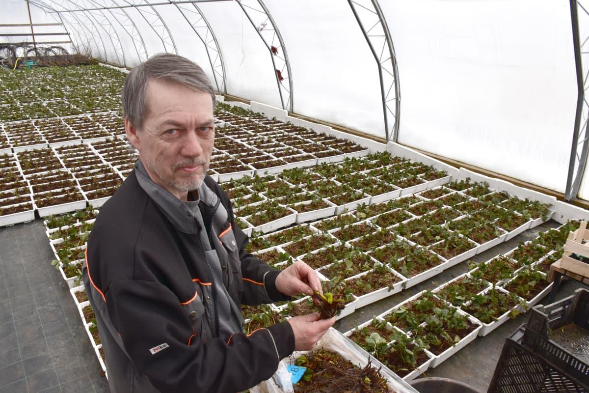 Ismo Ruutiainen esittelee mansikantaimia kasvihuoneessa.