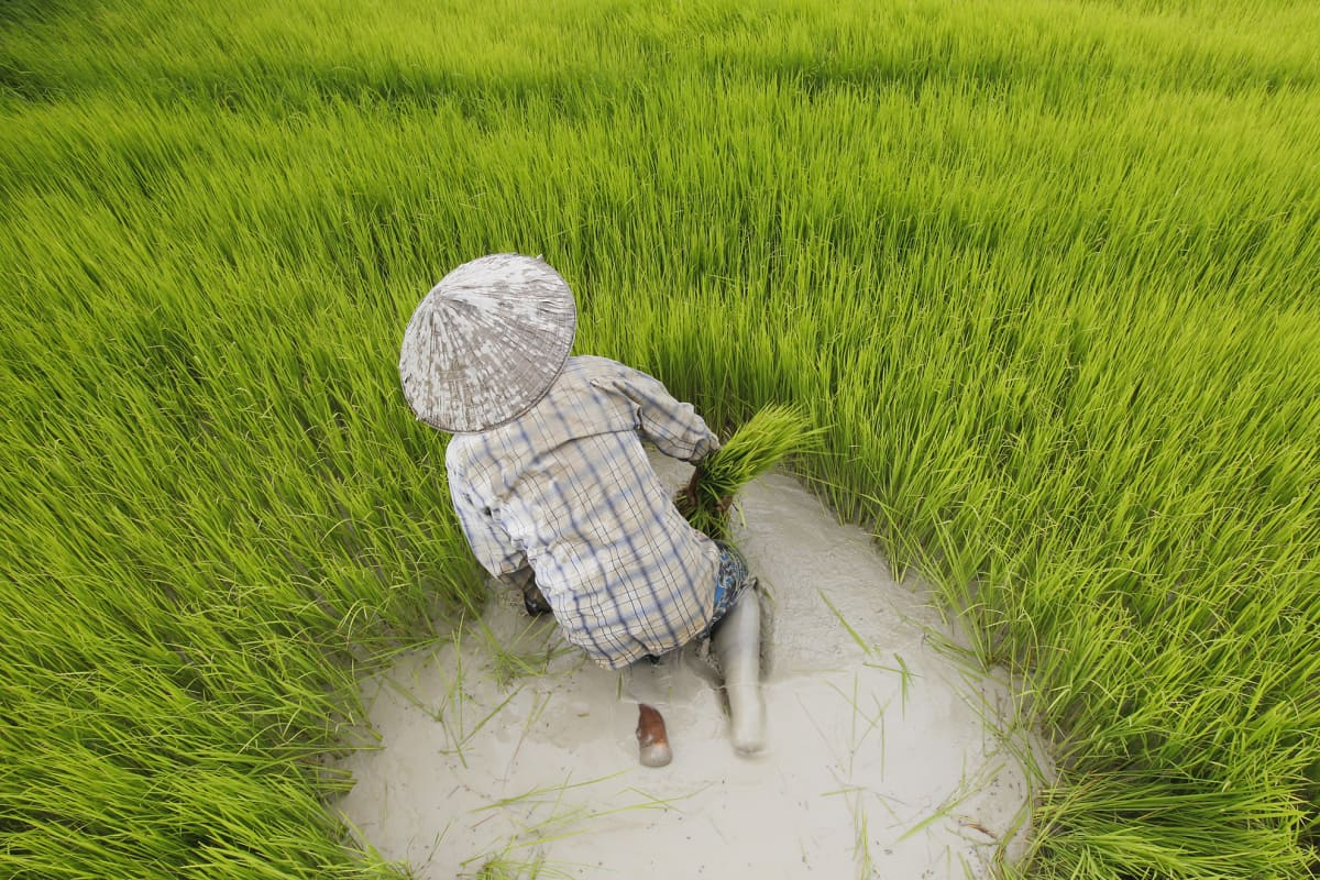 Kambodžalainen viljelijä työskentelee riisipellolla Phnom Penh`ssa 4. elokuuta. Hintakilpailu ja ulkomaisen riisin lisääntynyt tarjonta on heikentänyt maassa paikallisen riisin kysyntää.