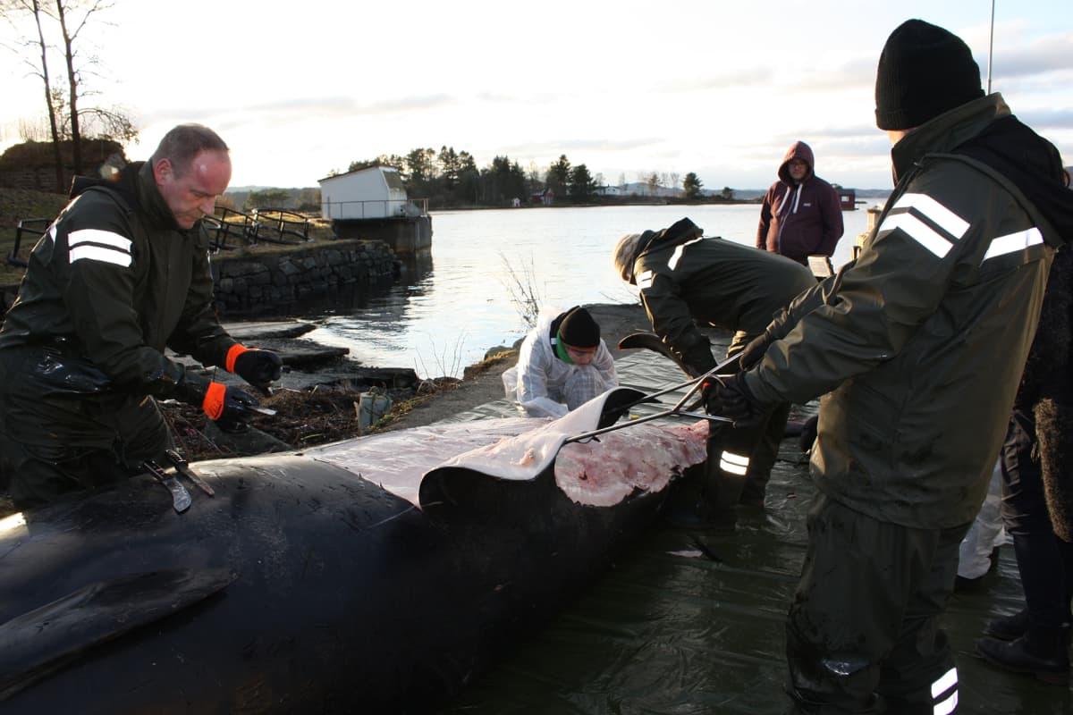Hanhennokkavalas jouduttiin lopettamaan Bergenissä Norjassa.
