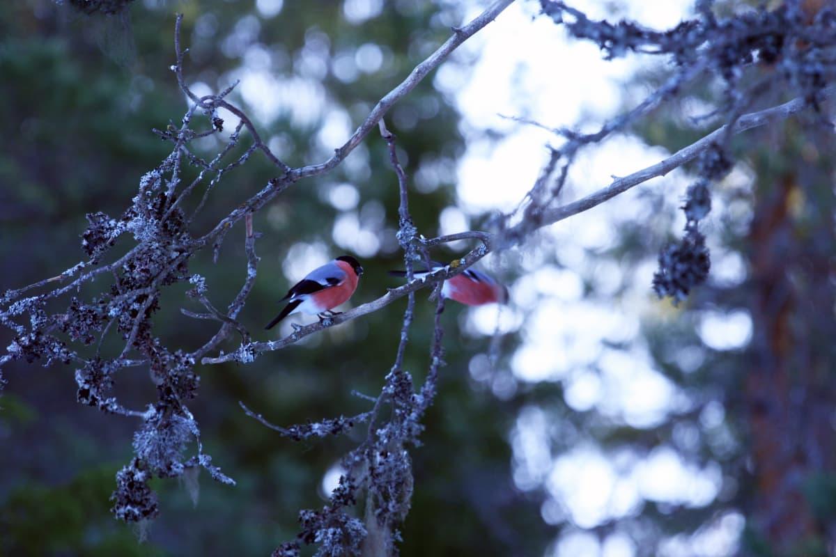 Punatulkkuja puussa.