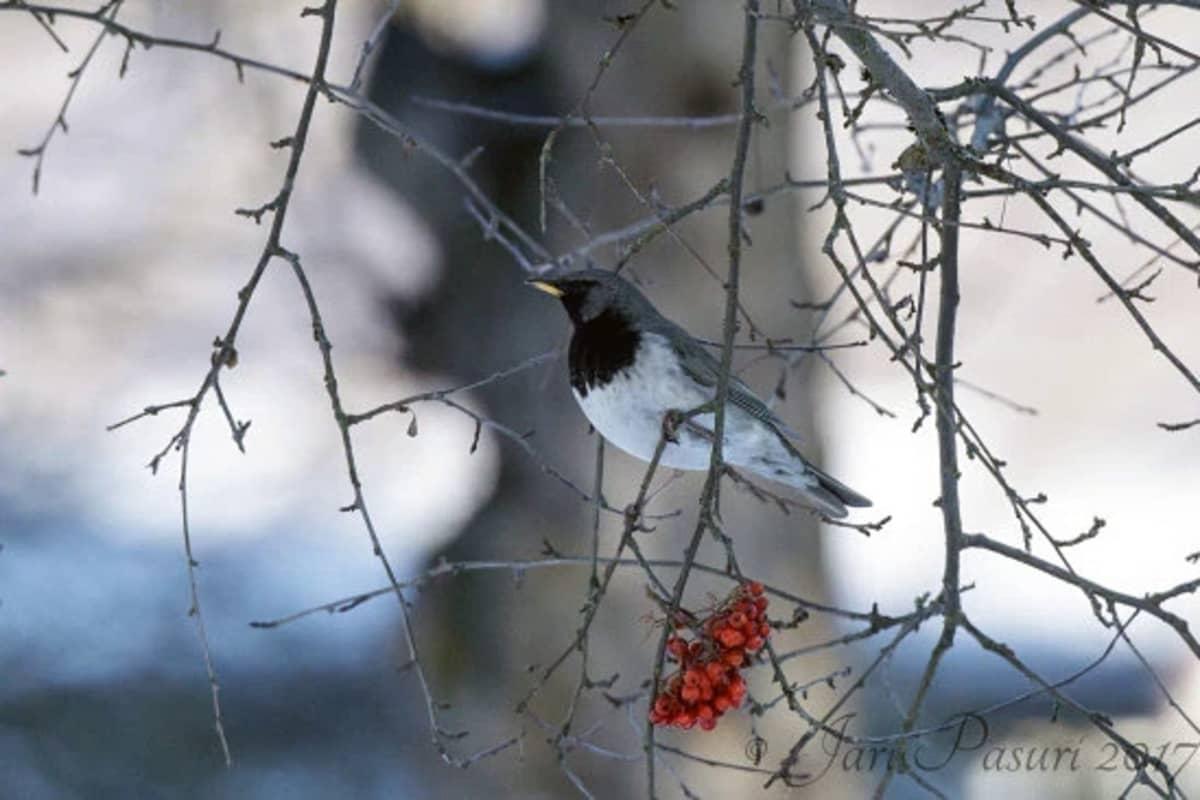 Mustakaularastas omenapuun oksalla