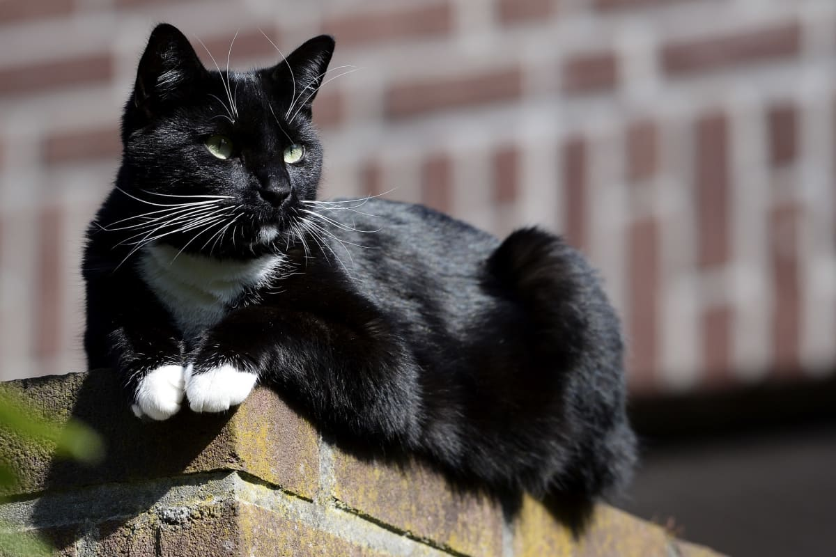 Kissa istuu tiiliaidalla.