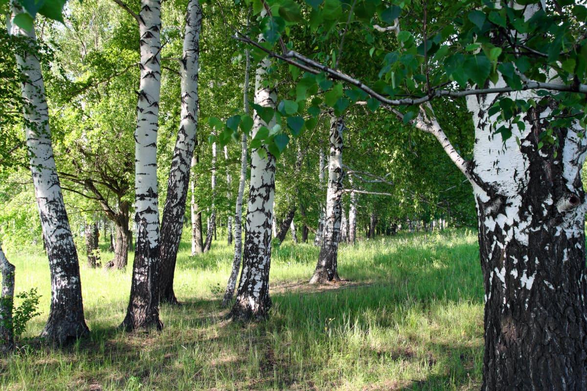 En dunge med björkar, solen skiner in bland träden.