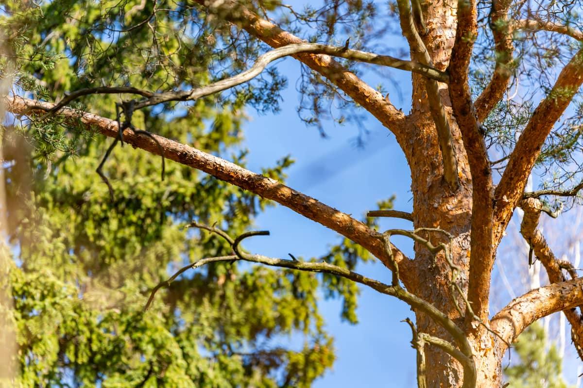 Suomen luonto: puu
