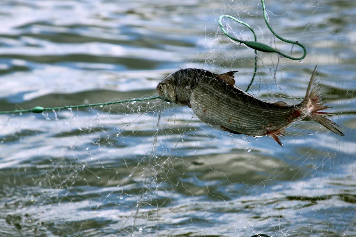 fisk sprattlar i nät ute på havet