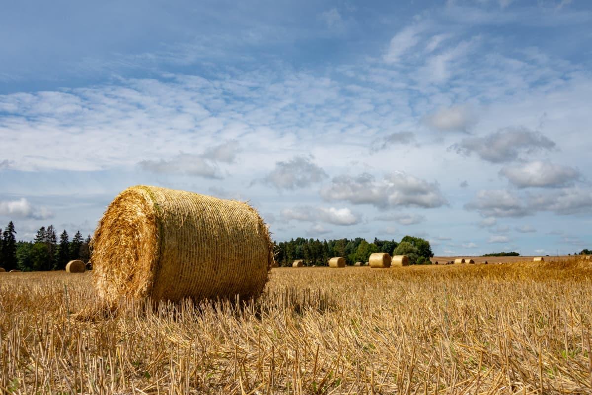 Heinäpaaleja pellolla Virossa.