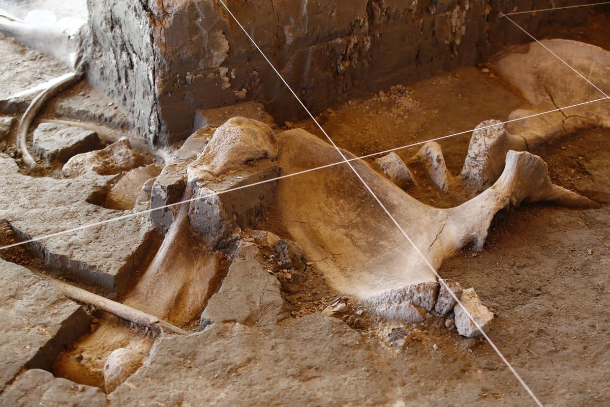Villamammutin luuranko Tultepecin arkeologisilla kaivauksella Meksikossa.