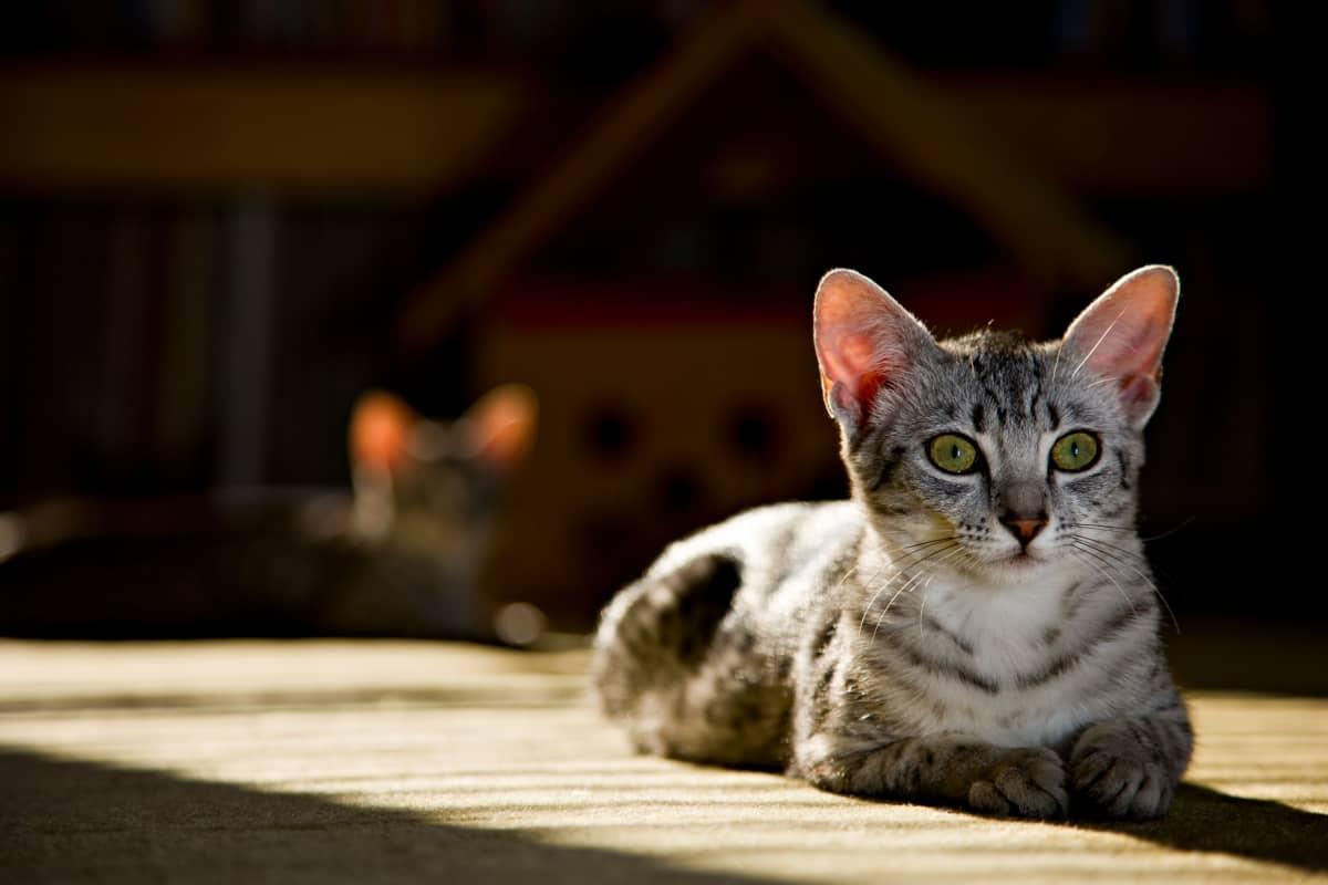 kissa katsoo kameran ohitse