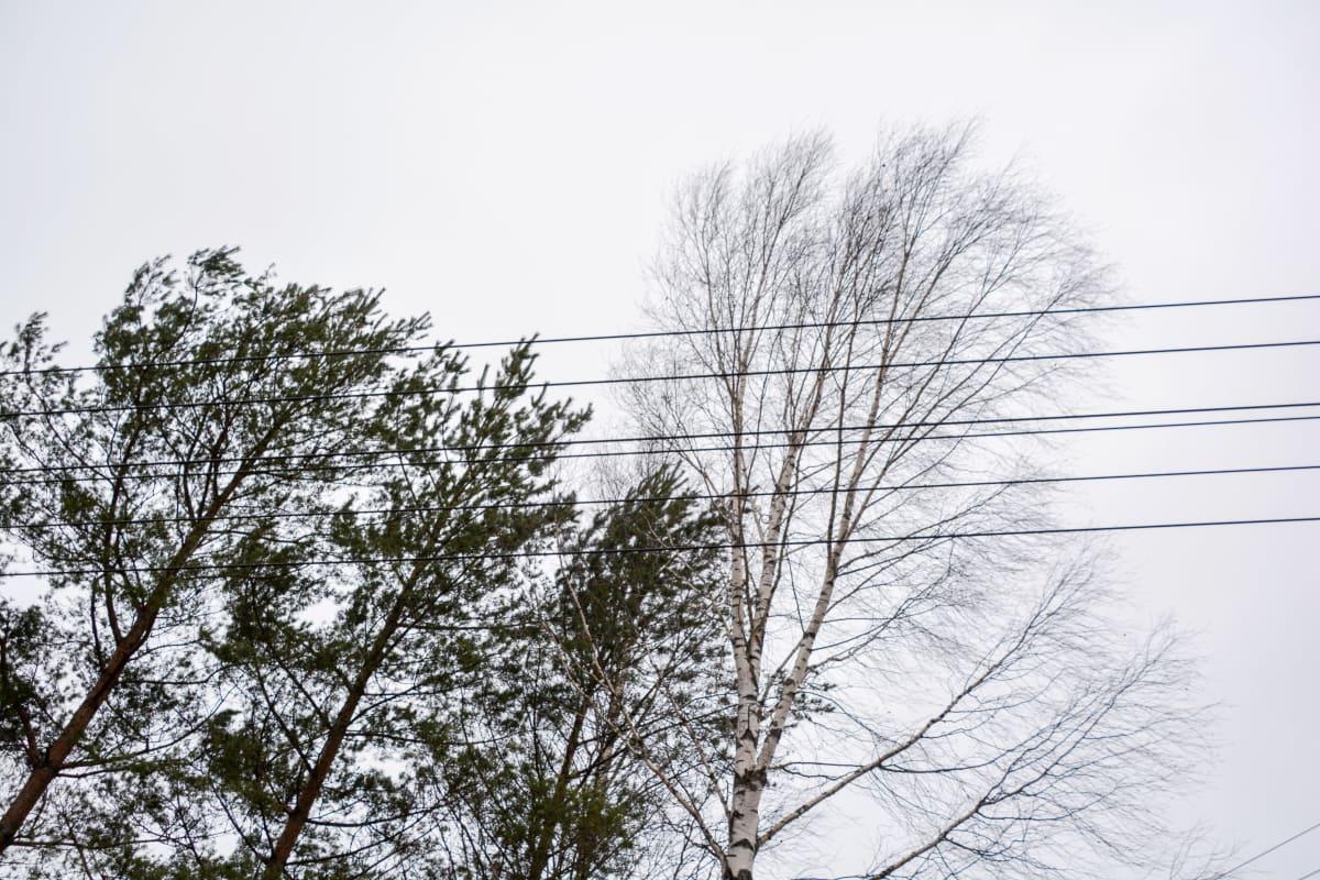 Sähköjohtoja puiden lähellä-