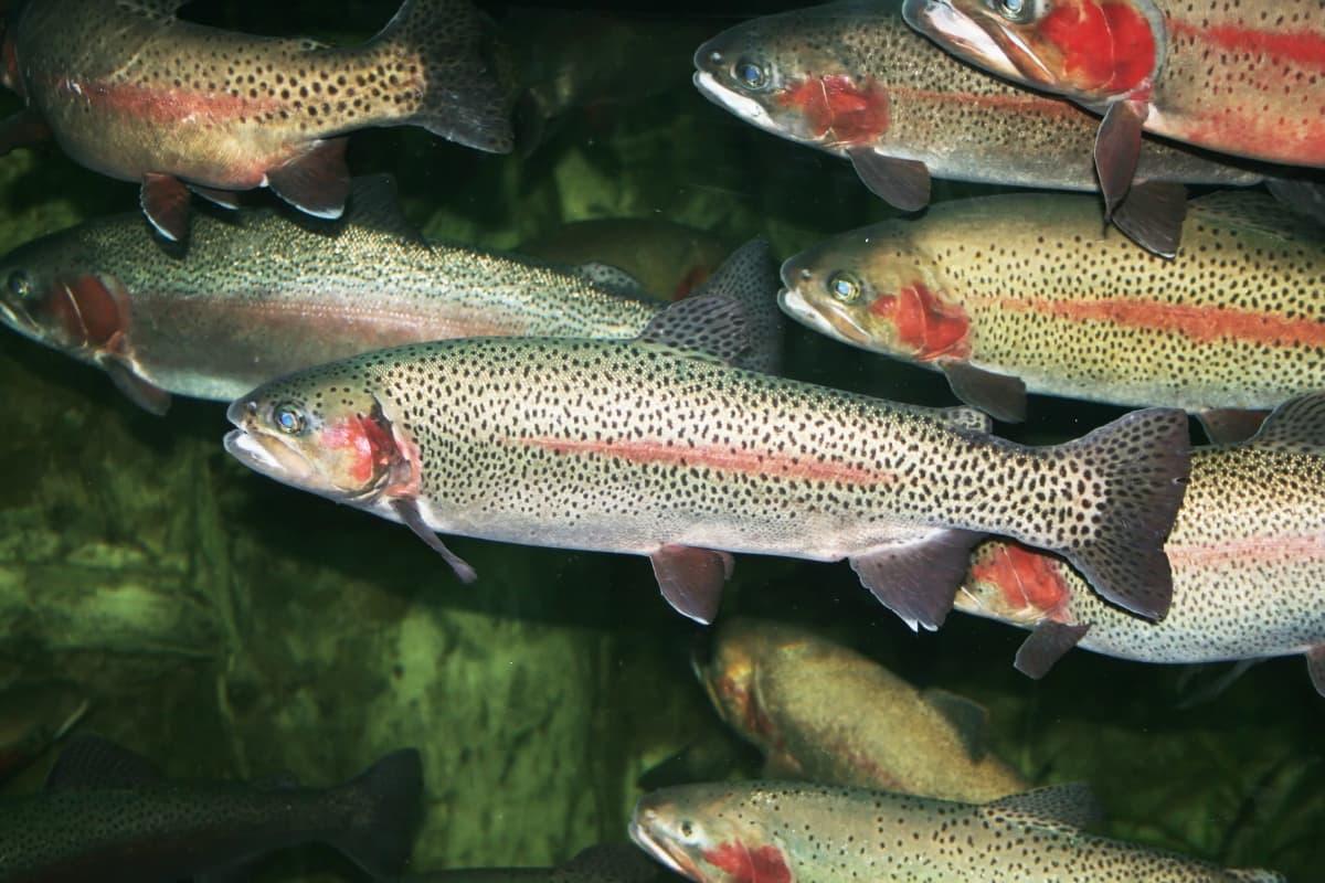 Flera regnbågsforeller simmar. Fiskarna är grönaktiga och har en ljusröd strimma på sidan.