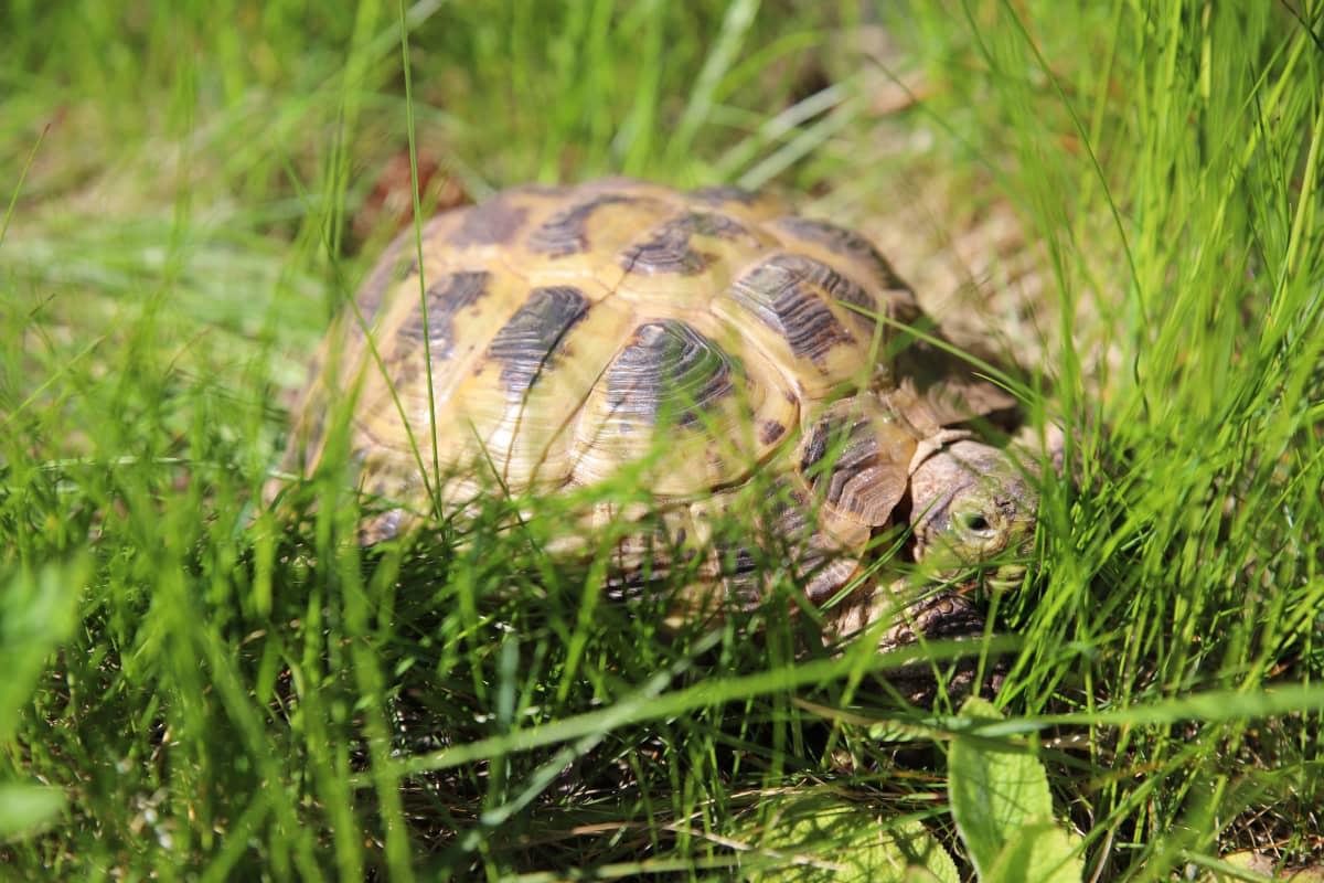 Kilpikonna nurmikolla