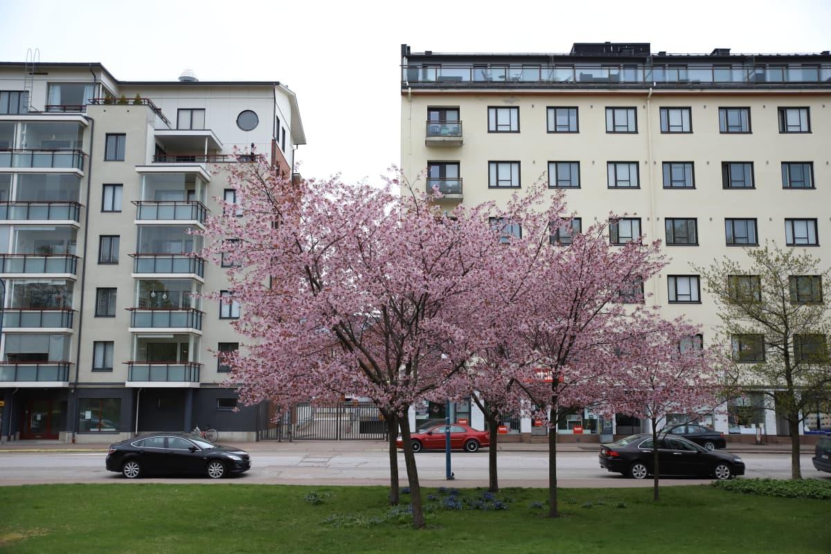 Rusokirsikka Toivo Pekkasen puistossa Kotkassa.