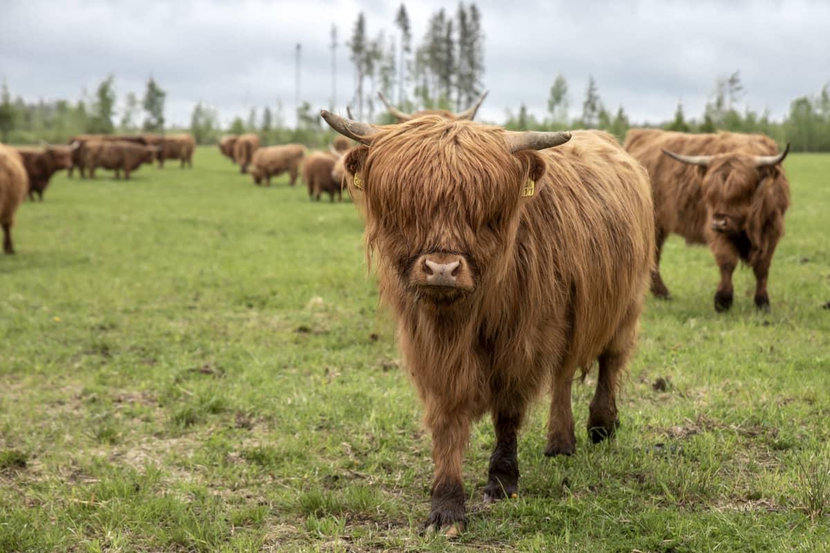 Ylämaan karjaa laitumella
