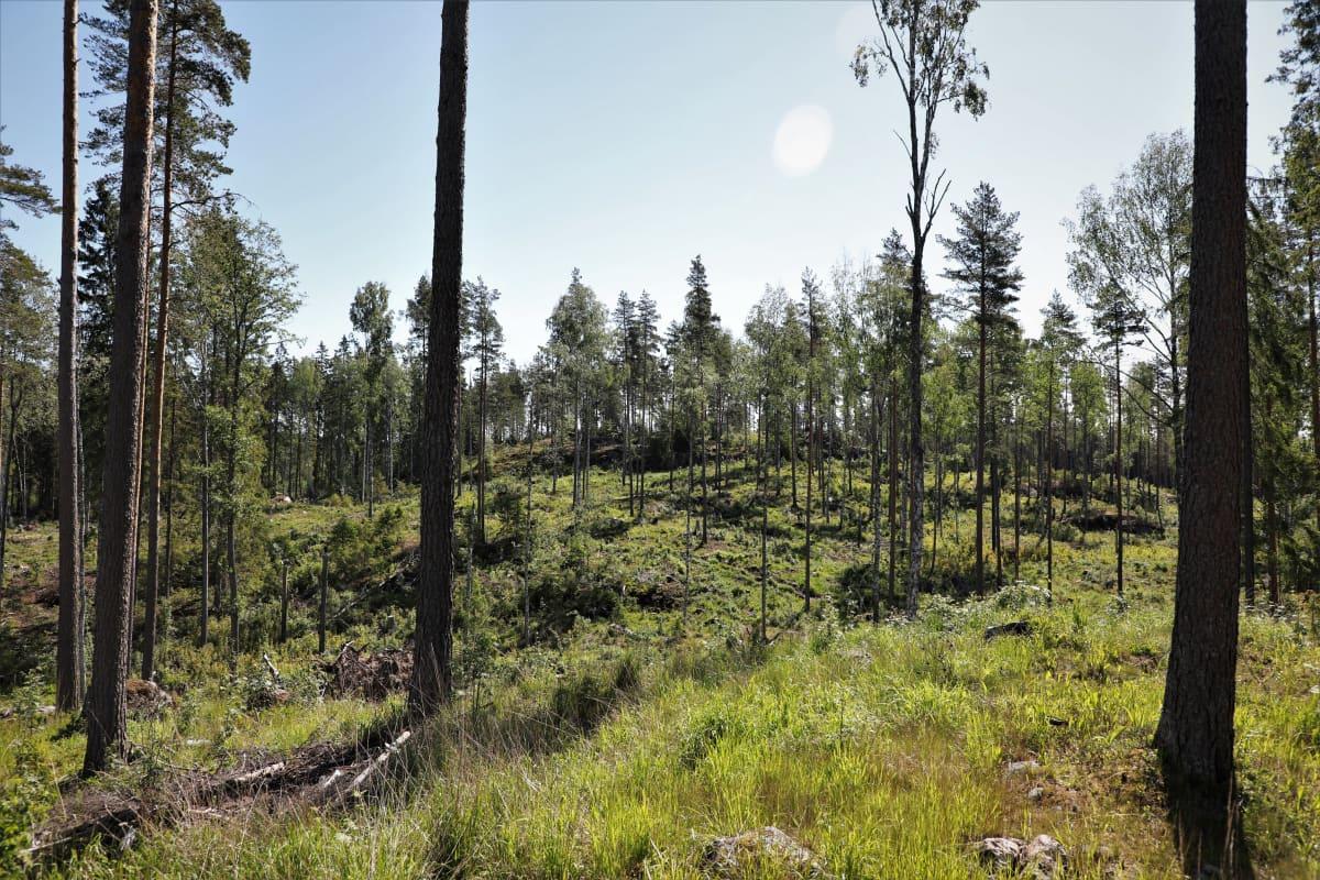 Hakkuuaukea, jossa jätetty puita kasvamaan sekä joitakin kuolleita puita