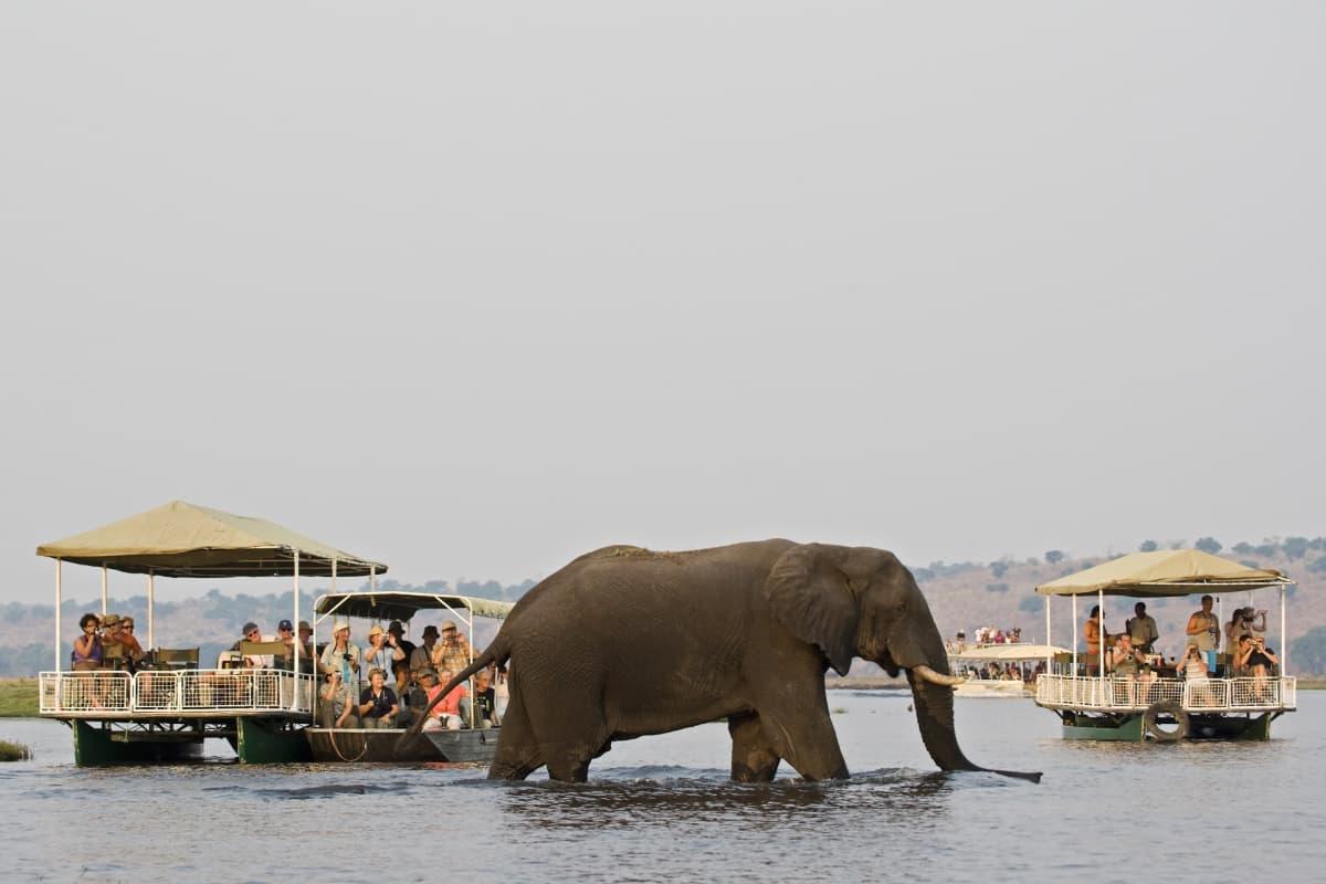 Norsu kävelee vedessä, jossa on lauttoja täynnä ihmisiä.