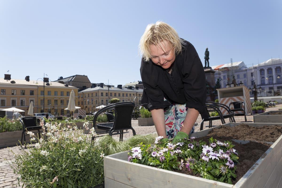 Tanja Lähdeaho asettelee kukkia laatikkoon Senaatintorilla.