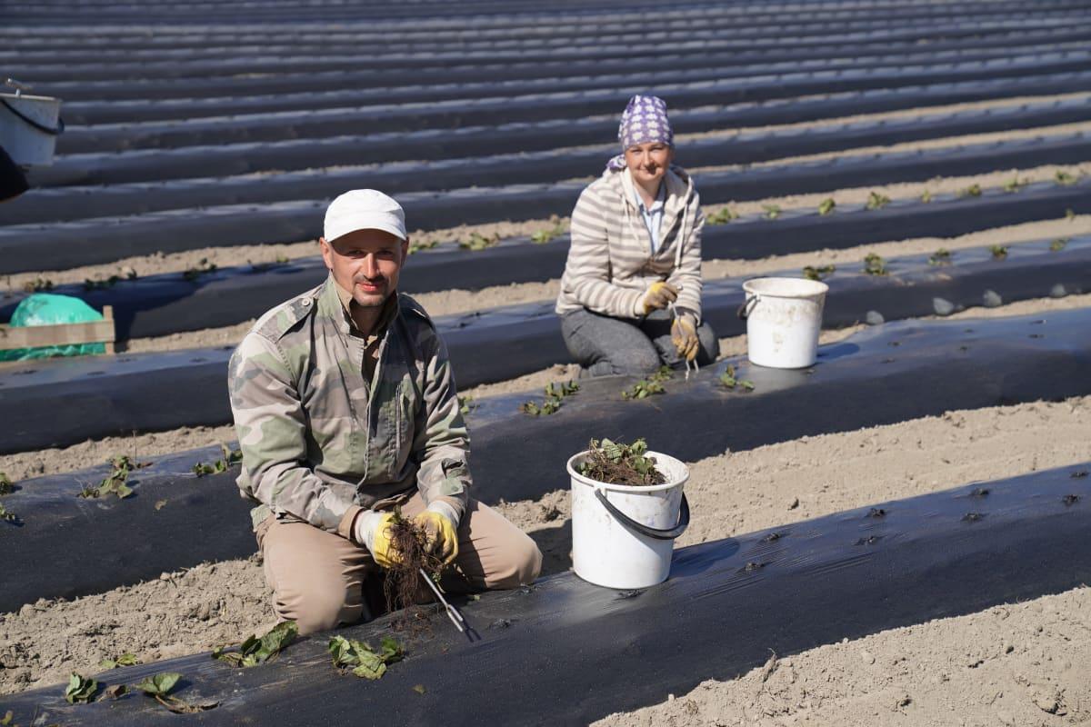 Lahdessa ukrainalaisia taimien istuttajia