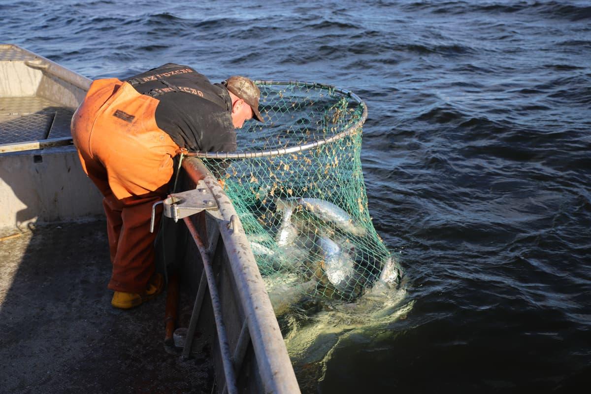 Kalastaja Mikael Lindholm kalastaa lohta Loviisan edustalla Suomenlahdella