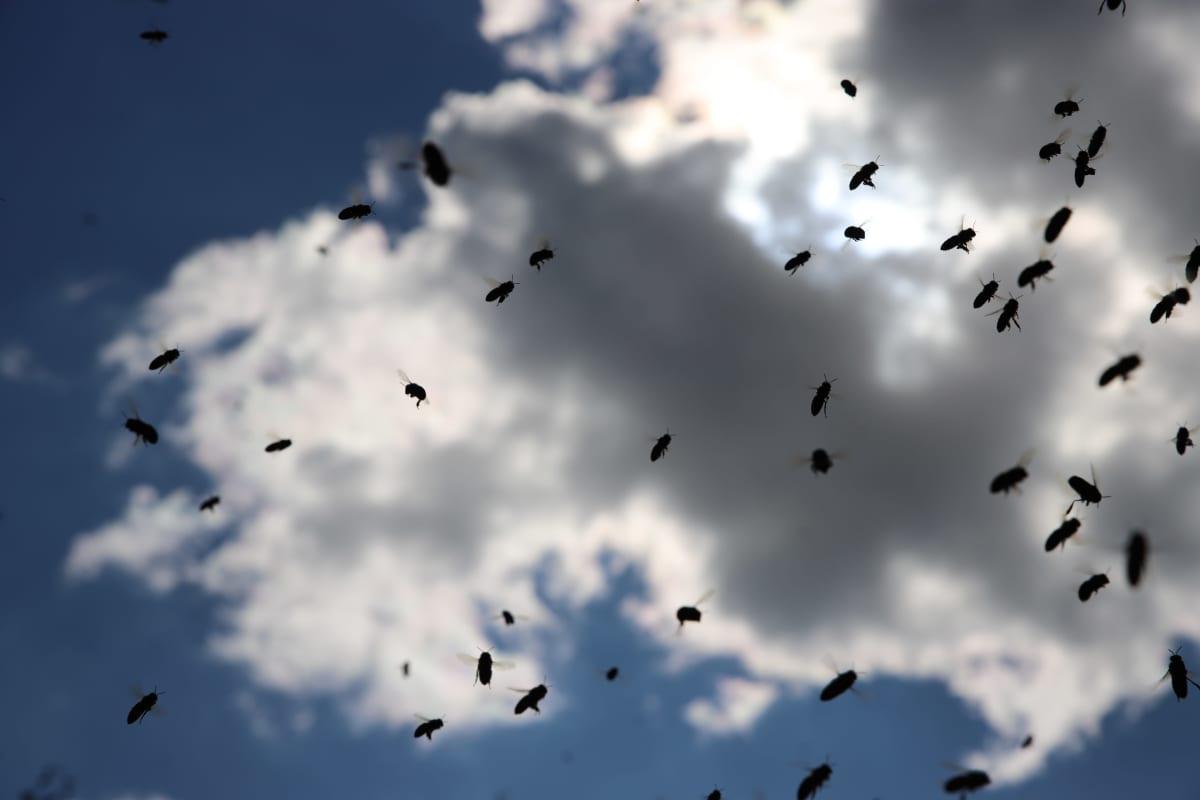 Mehiläisiä lentää taivaalla.
