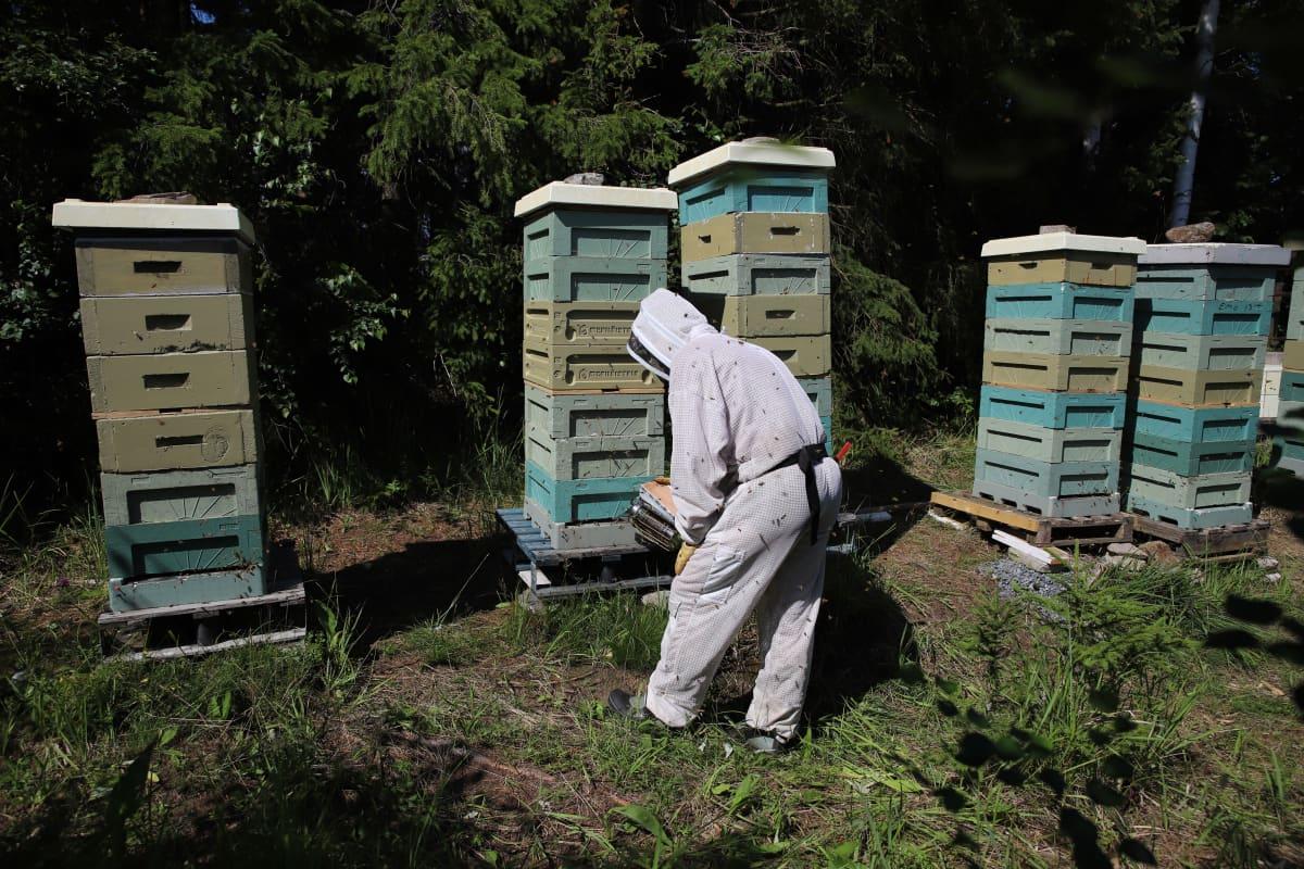mehiläistarhaaja pesien luona