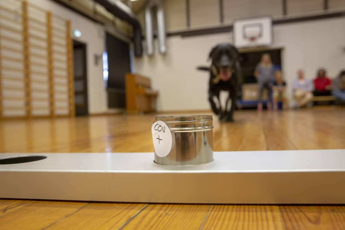 Labradorinnoutajaa koulutetaan tunnistamaan koronavirus.