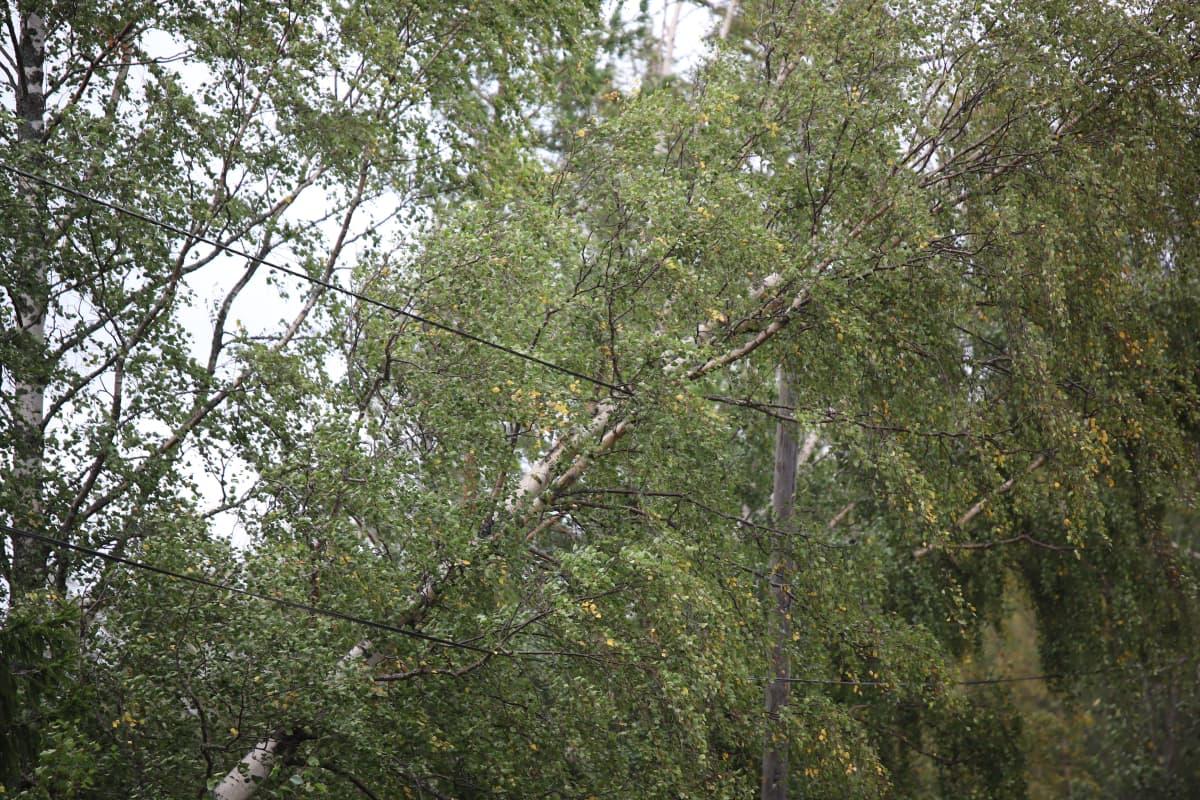 Sähkölinjojen päälle kaatunut puu Porin Reposaaressa.