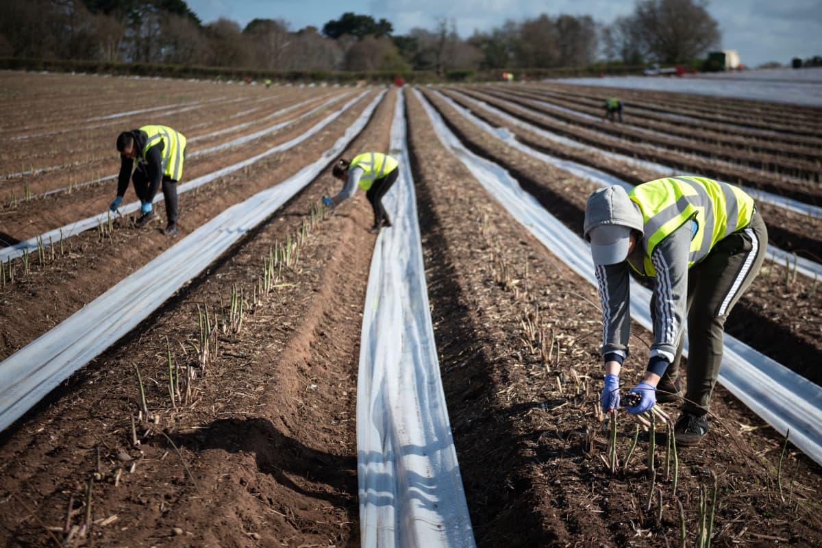 Parsasadon korjaustöissä Sandfieldsin tilalla Worcestershiressa työskenteli pääosin Bulgariasta ja Romaniasta kotoisin olevia työntekijöitä 6. huhtikuuta 2020.