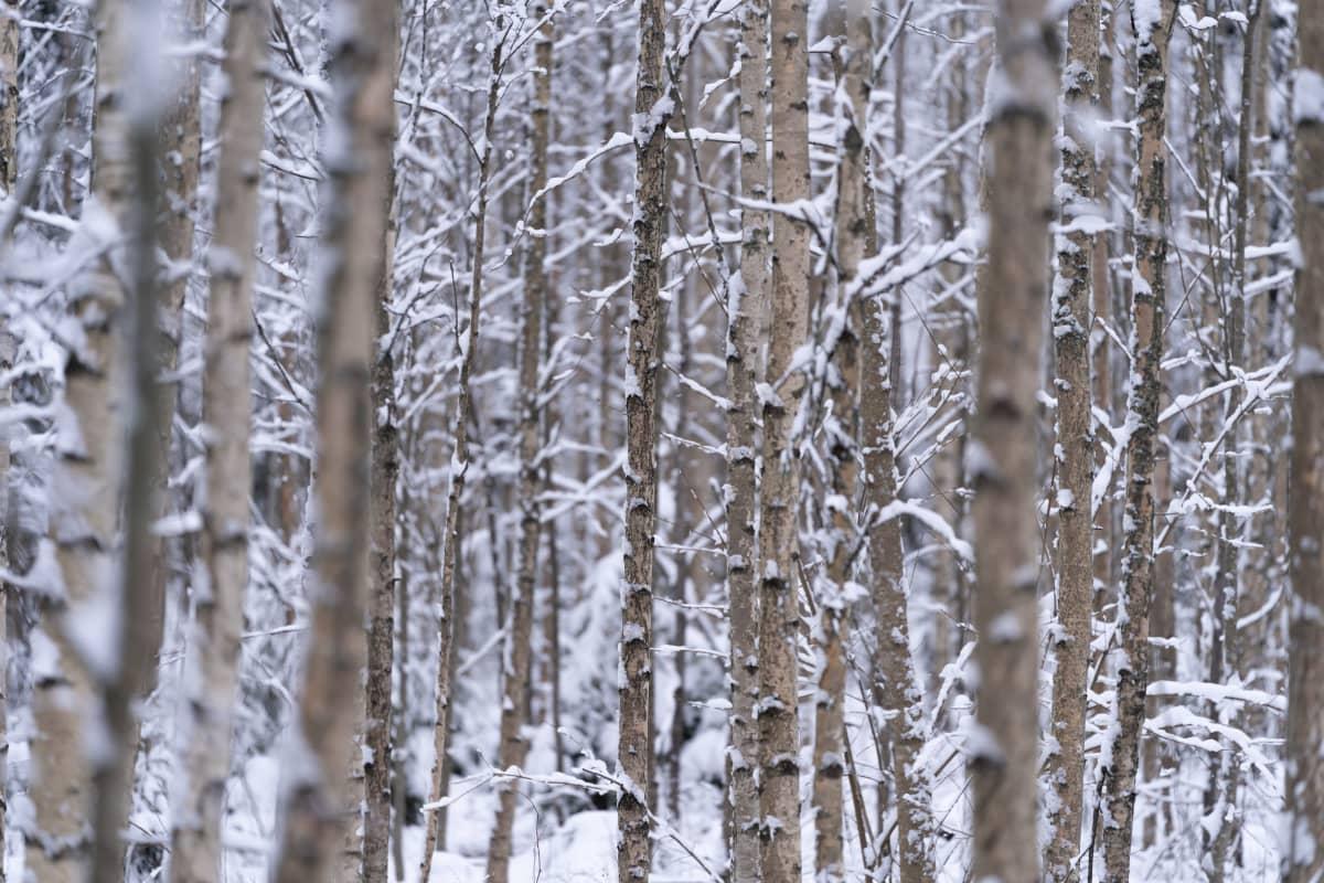 Luminen koivikko tammikuussa Nurmijärvellä.