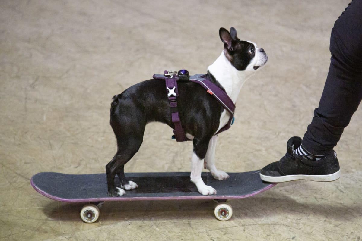 Domi-koira skeittaa.