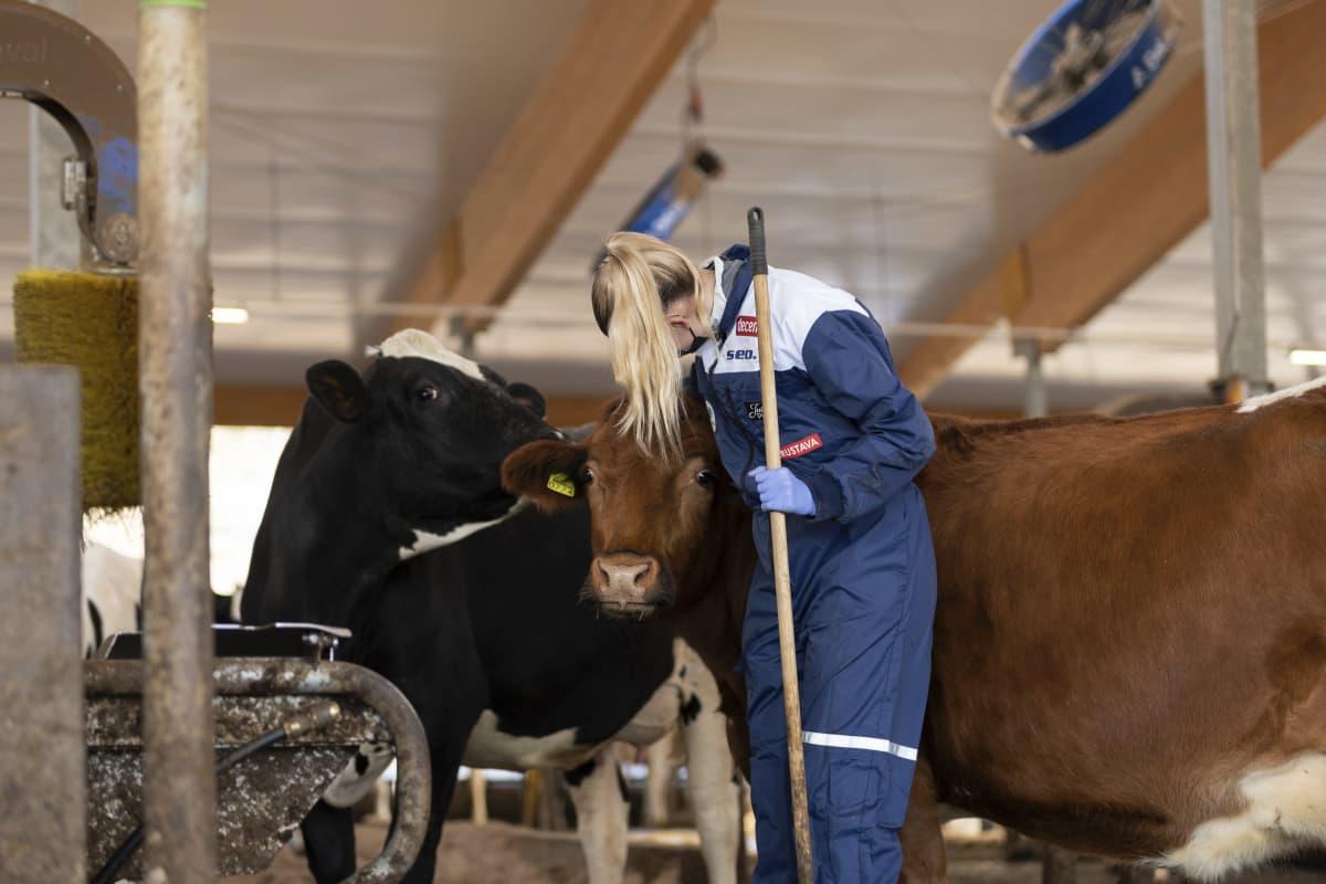 Kristiina Mäkelä krafsar kon mellan varven då hon jobbar i ladugården.