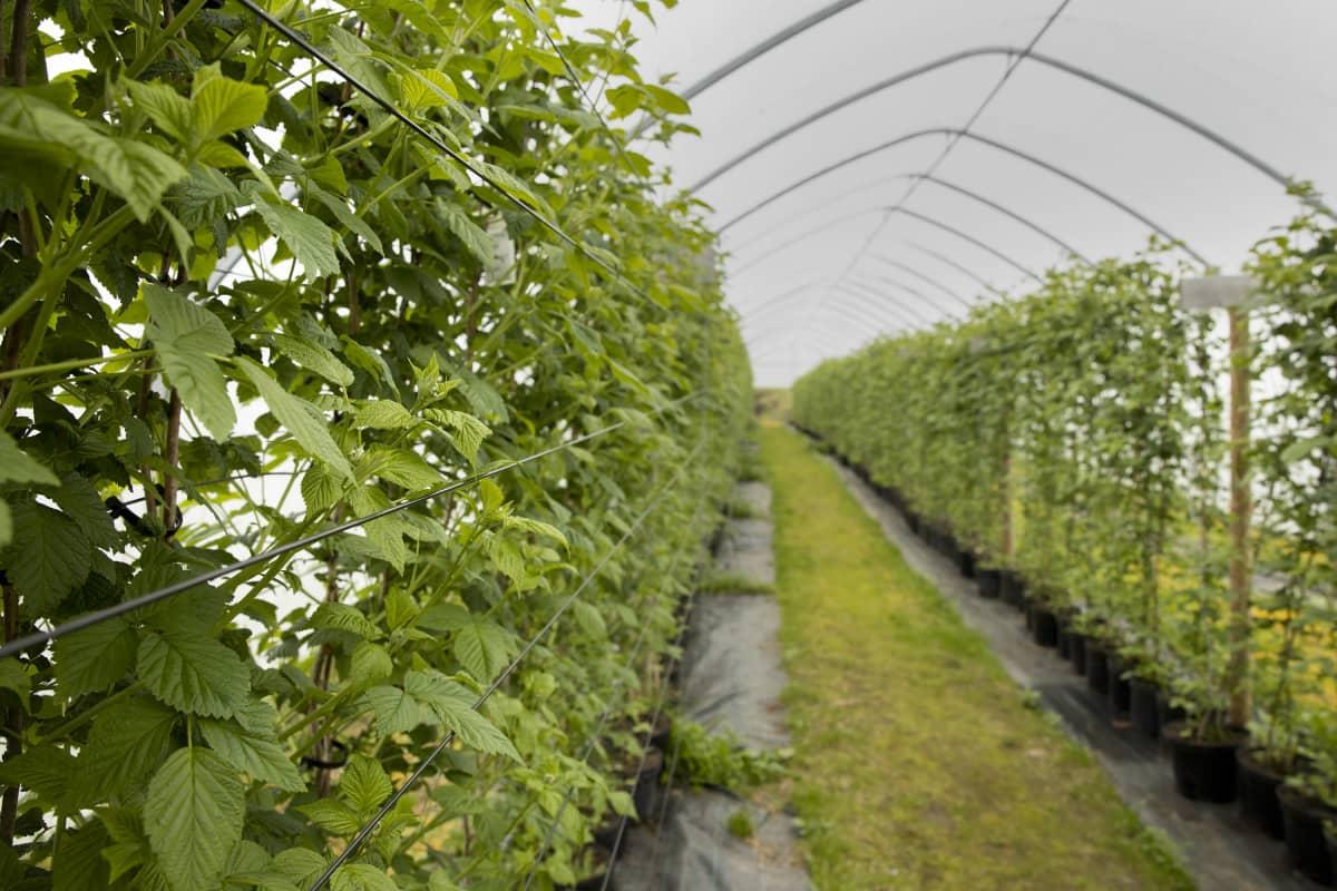 Vadelmia kasvaa kasvatustunnelissa Pirttiahon puutarhalla Jyväskylän Korpilahdella.