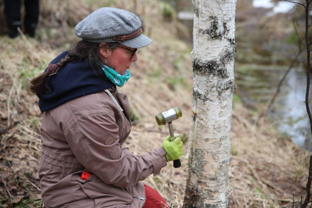 Opiskelija Veera Väistö istuttaa koivuun pakuriymppiä.