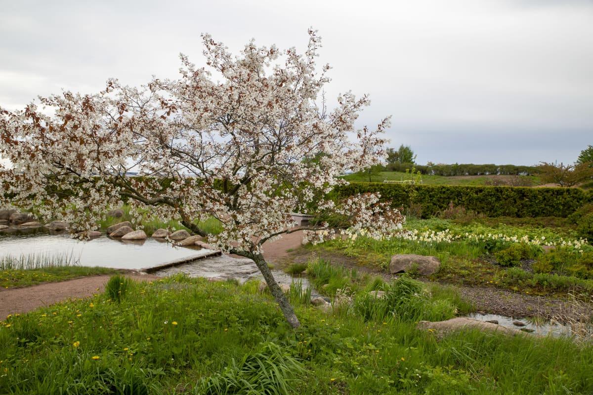 Kukkiva kirsikkapuu Katariinan meripuistossa.