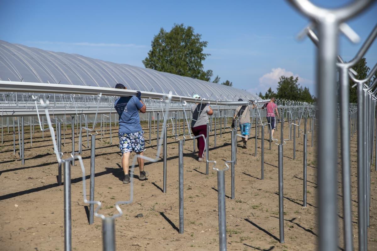 Ulkomaista työvoimaa mansikkatilalla Suonenjoella. Mansikkojen kasvatusastioita rakennetaan.