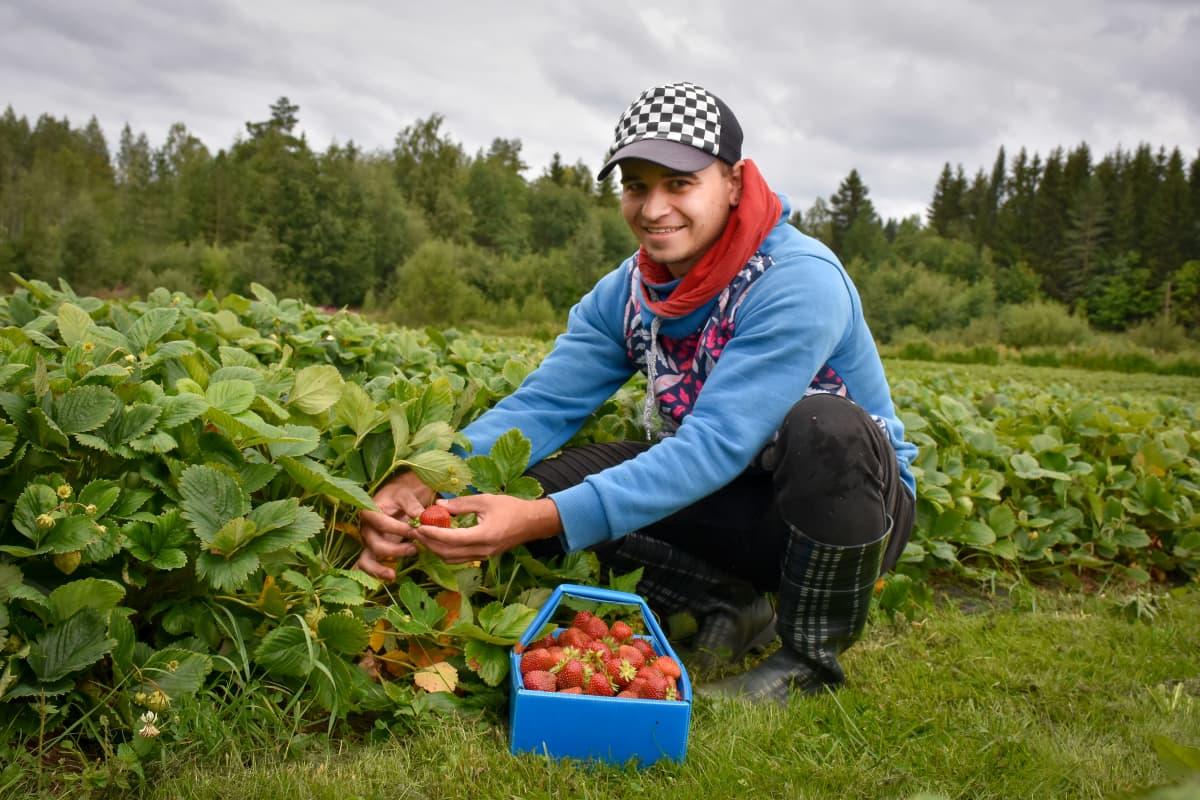 ukrainalainen Jevheni poimii mansikoita Savossa
