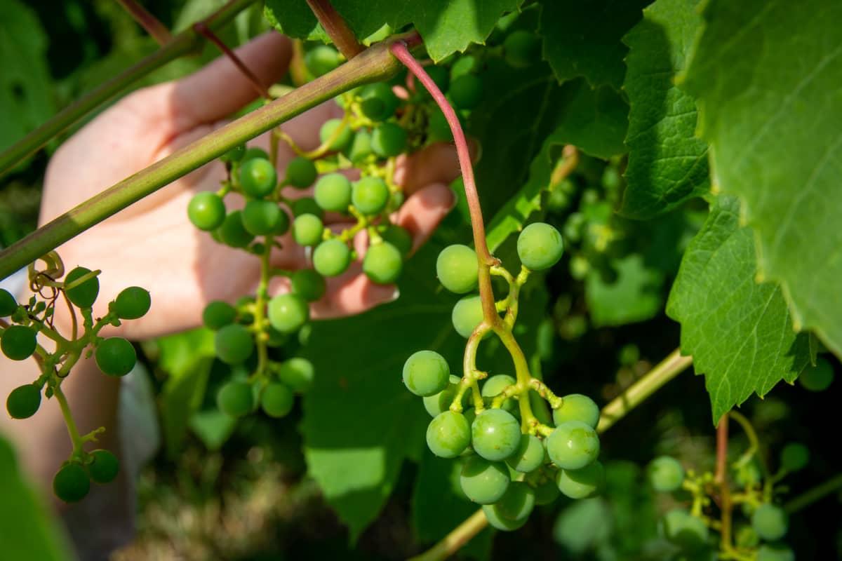 Viinirypäleitä kasvamassa pensaassa