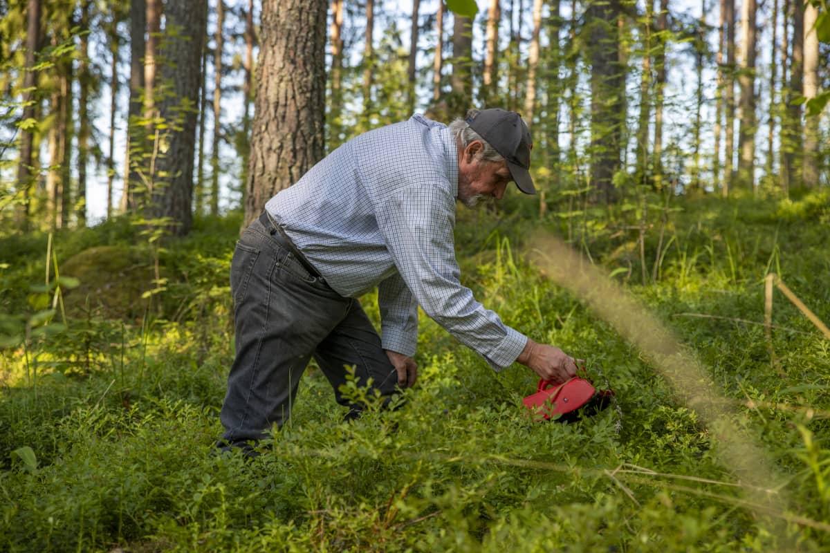 Antero Rantalainen kyyristyneenä mustikanpoimintaan metsässä, kädessään poimuri.