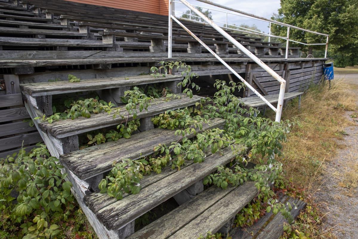 Voikkaan pallokentän katsomon portaiden alla kasvaa vadelmaa