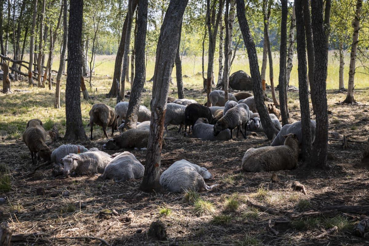 Lampaita lepäämässä puiden varjossa.