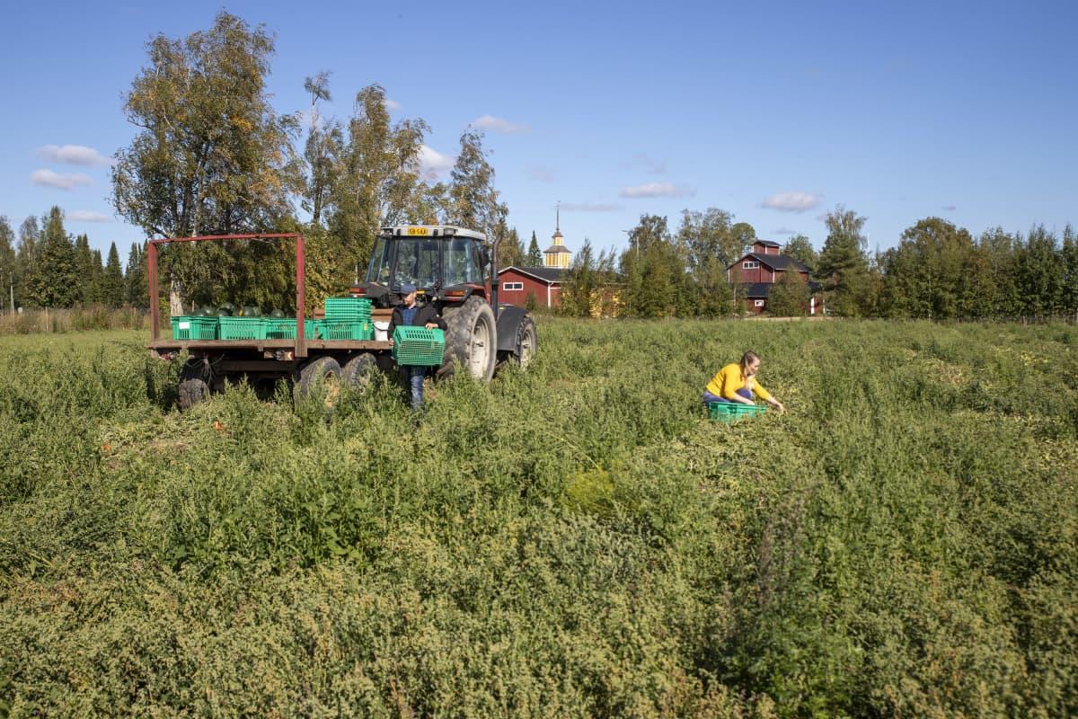 Katilan tilalla Nurmossa kasvaa kotimaisia vesimeloneita avomaalla pellossa.