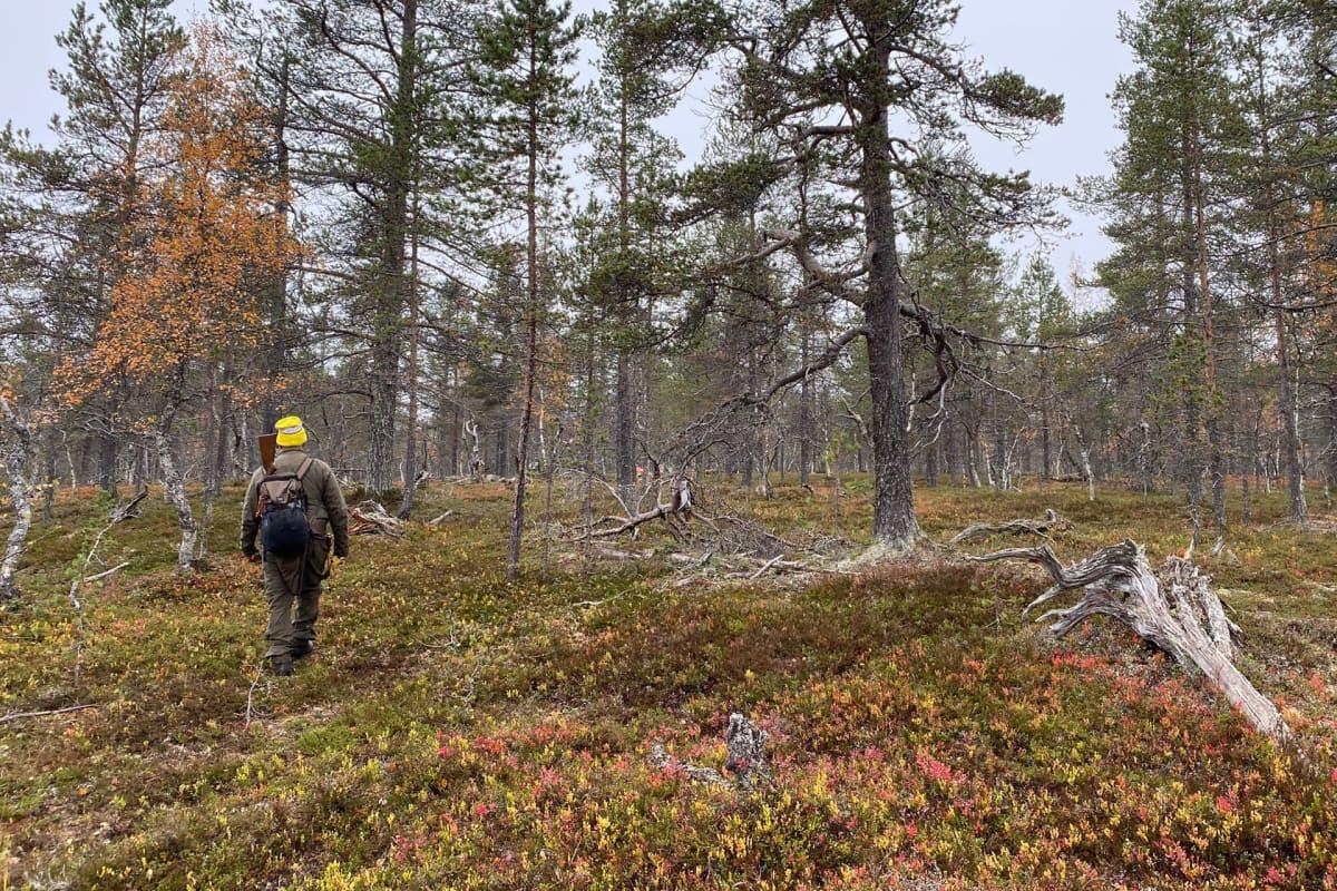 Henkilö kävelee poispäin kamerasta erämaisessa metsässä Lapissa, selässä asereppu, josta pistää ulos kiväärin perä.