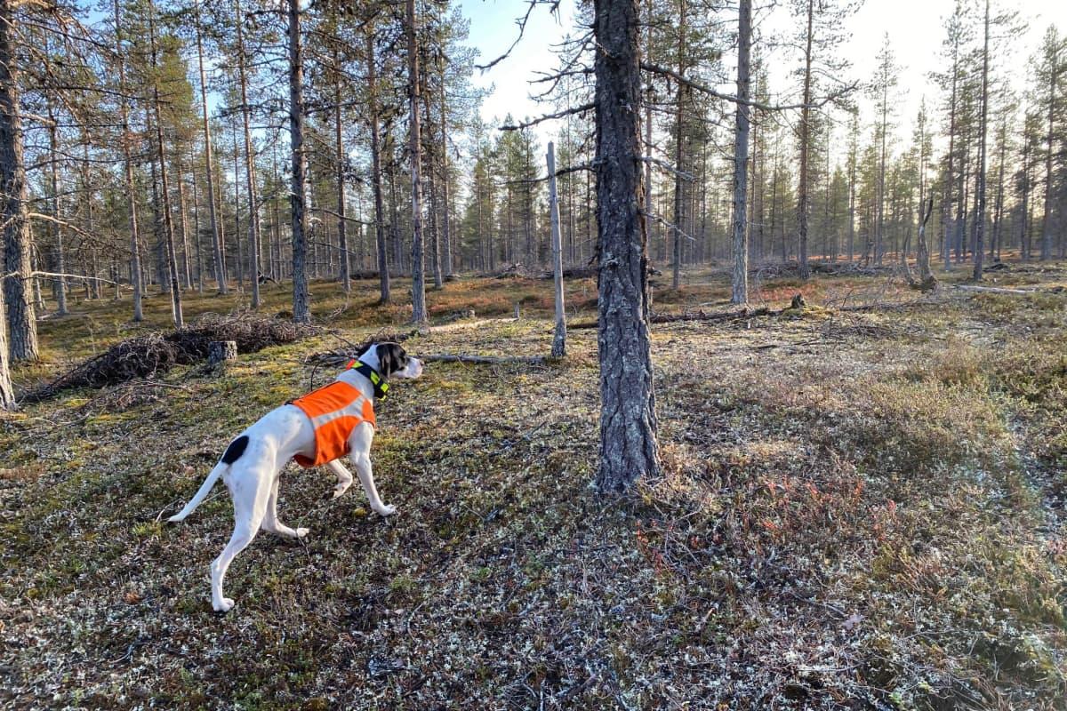Metsästyskoira oranssissa huomioliivissä kävelee jäkälän peittämää kangasmaata erämaisessa Lapin metsässä.