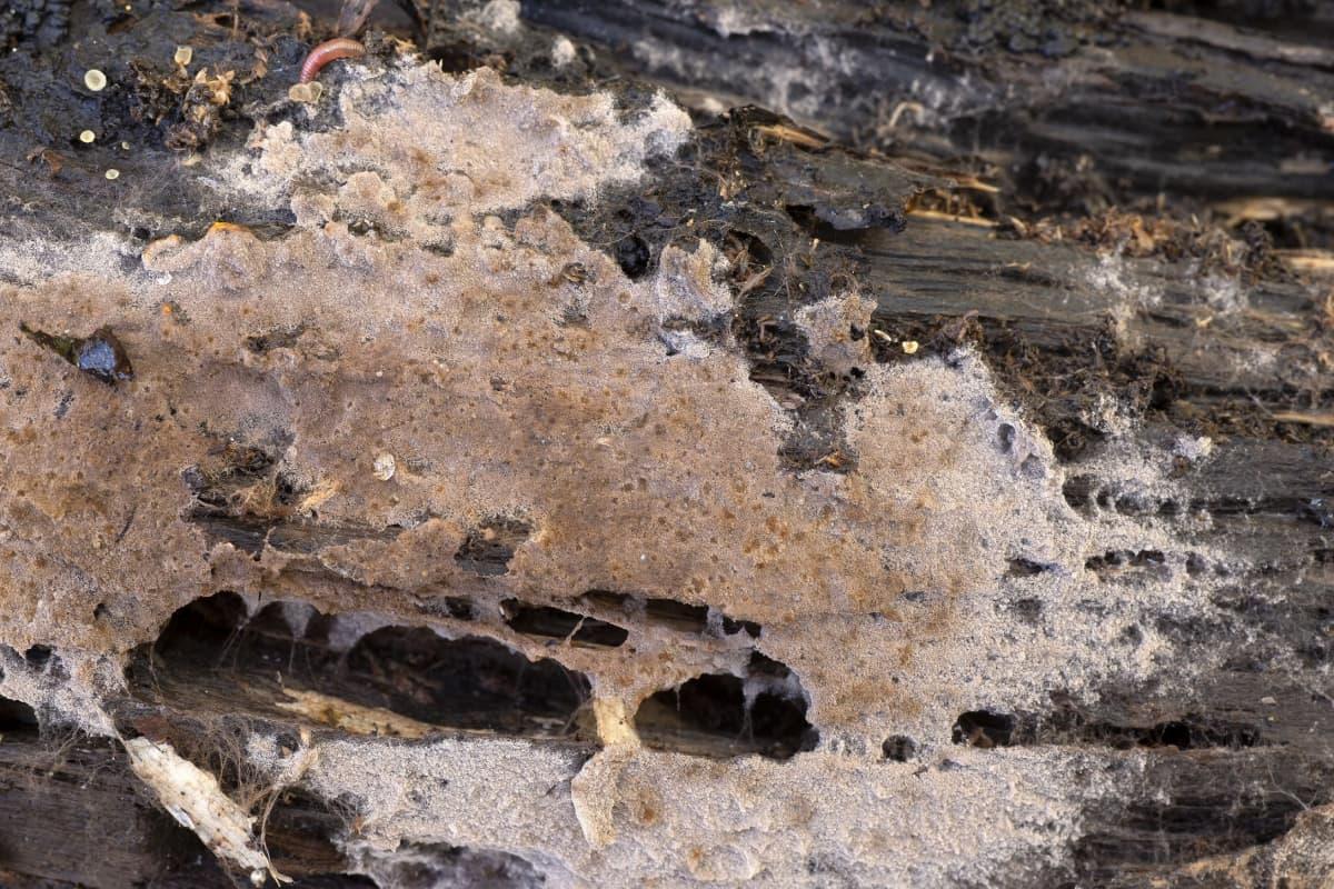 sieni kuolleessa puuaineksessa