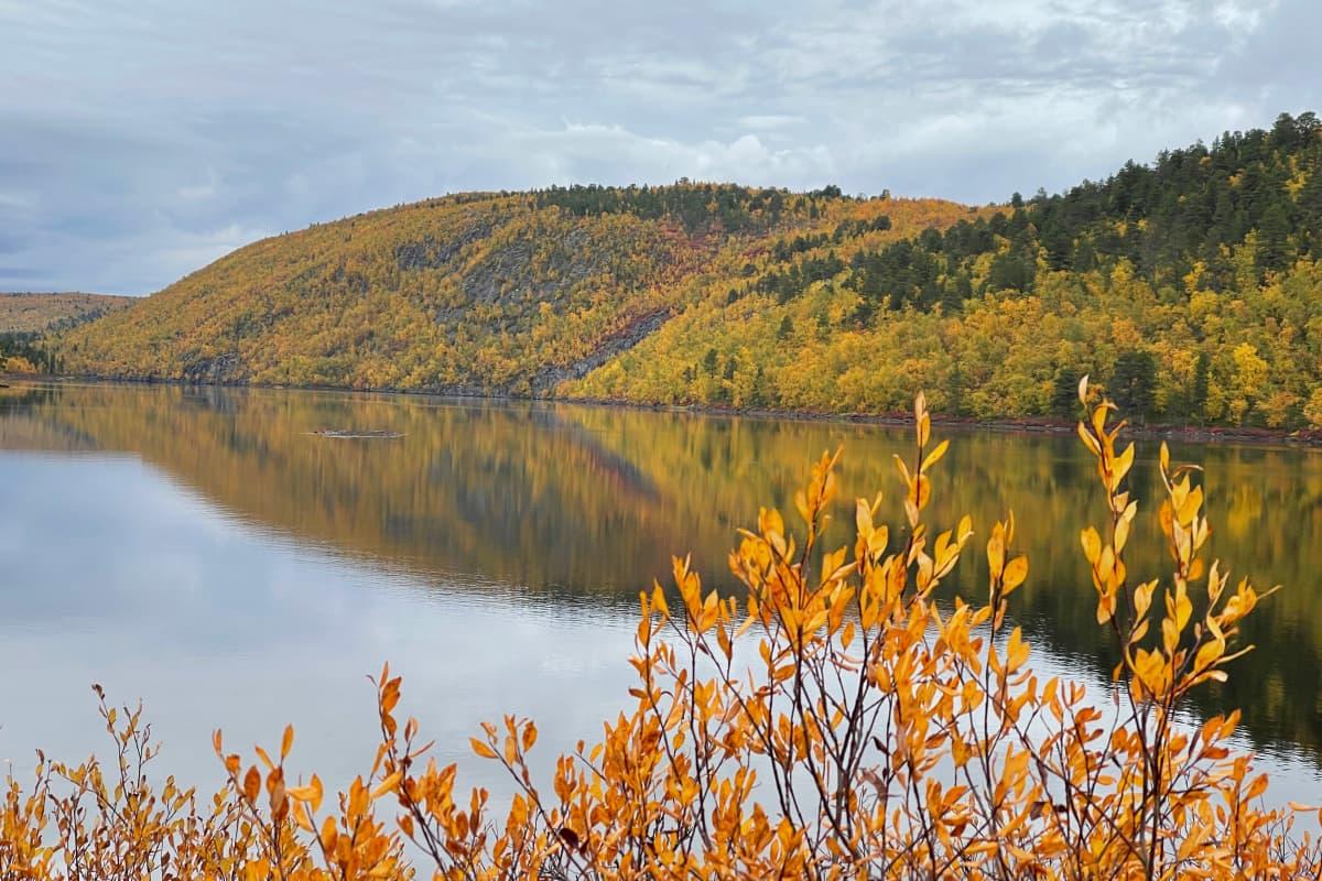 Ruskan keltaisena hehkuva tunturin rinne tyynen järvenselän takana, etualalla keltaisia lehtiä pajupensaassa.