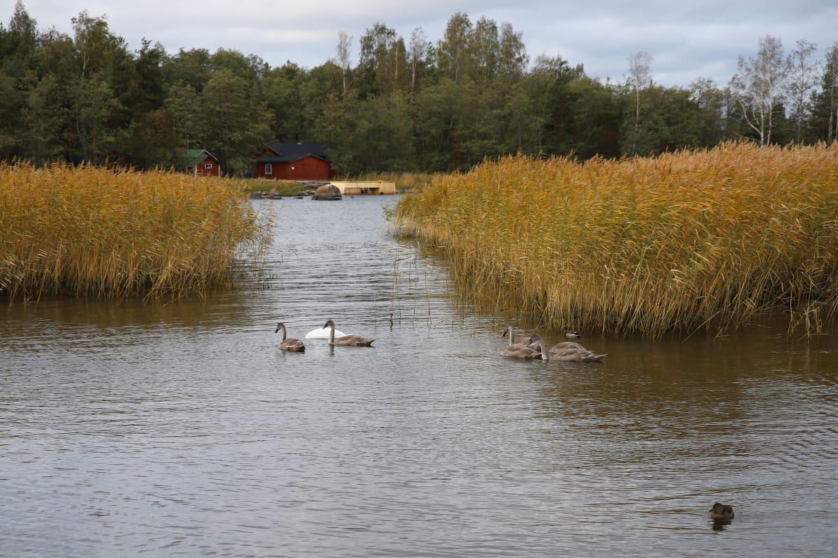 Joutsenia meressä Tiutisessa Kotkassa.