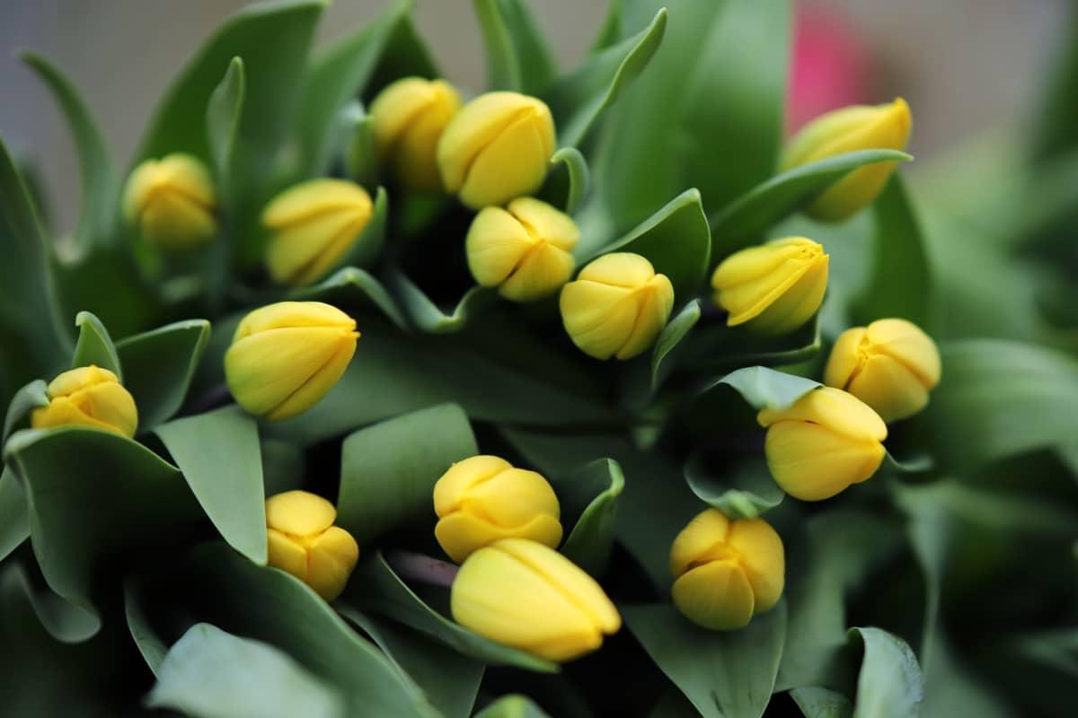 Yellow flight -tulppaaneja Partaharjun puutarhalla Pieksämäellä.