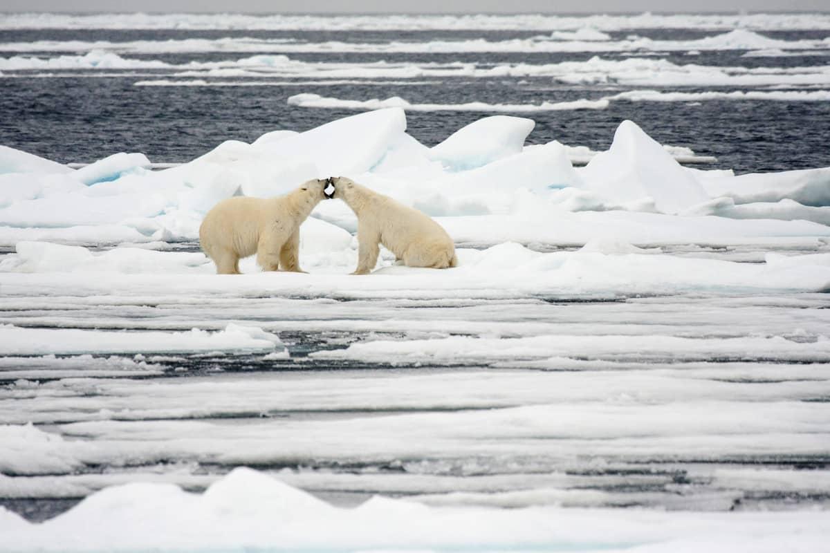 Kaksi jääkarhua jäälautalla