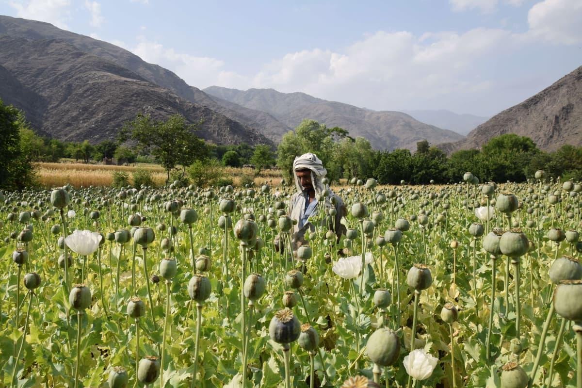 Mies oopiumpellolla Dara-i Mazorissa Afganistanissa toukokuussa 2017.